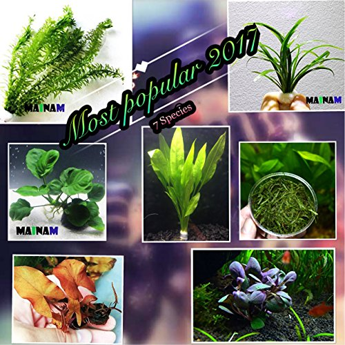 7 Species Collection (Live Aquarium Plants The Most Popular 2017 / 7 Species - Anacharis, Amazon Sword, Java Moss and more! by Mainam)