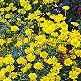 100 Yellow Marguerite Daisy (Anthemis Tinctoria Kelwayl) Seeds