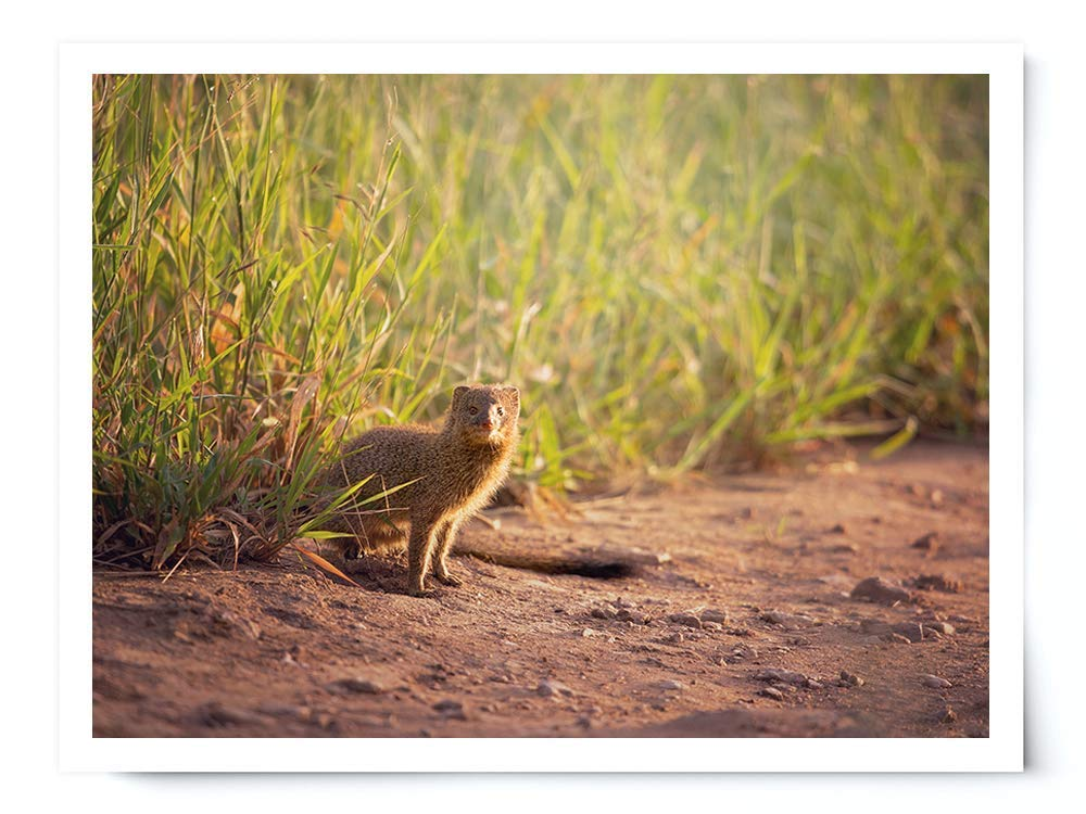 Mongoose - Wildlife Photograph Animal Picture Home Decor Wall Nature Print - Variety of Size Available