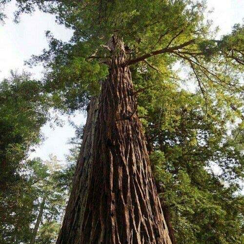 Toyensnow - California Redwood Tree Seeds (Sequoia sempervirens) (5+ Seeds)