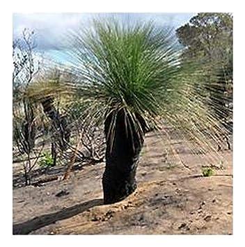 Xanthorrhoea preissii , Grass Tree , Balga , 10 seeds
