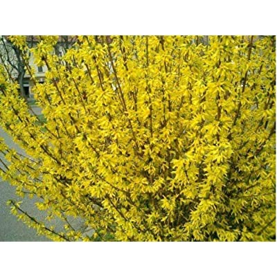 Humany flowerseeds- Garden forsythia, Gold Bells Hardy Perennial Green Gold Bells forsythia Shrub Seeds for Garden : Garden & Outdoor