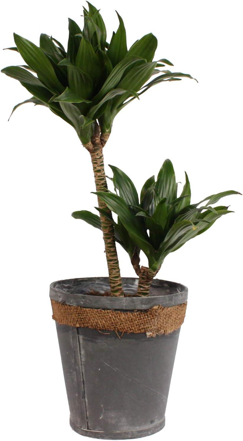 Dracaena compacta two stem house plant in a 17cm pot