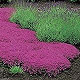 1000 Seeds Creeping Thyme Seeds - Magic Carpet - Thymus Serpyllum- Perennial Ground Cover !