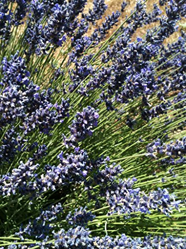 Butterfly Attracting Flower Selection List collection butterflies zellajake Bee (Lavender Vera 100) - Vera Lavender Collection