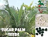 25 Sugar Palm Seeds, (Arenga engleri)