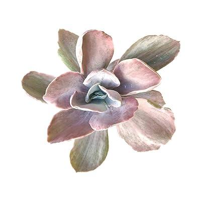 Echeveria Decora Variegated Succulent (4 inch Plant) : Garden & Outdoor