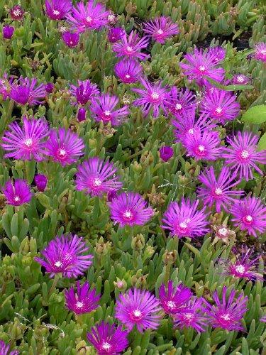 3 Pflanzen Mittagsblume Delosperma cooperii