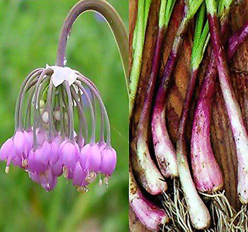 Nodding Pink Onion Flower Seeds - Allium cernuum - Edible Perennial Cold Hardy Zones 3-9 - by MySeeds.Co (Packet Size (40 Seeds))
