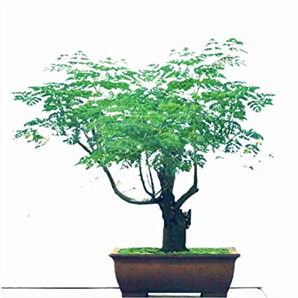 Moringa Bonsai Tree Bonsai Tree