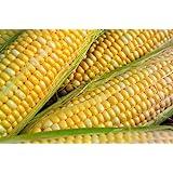 Peaches & Cream Sweet Corn Non-GMO Seeds - 4 Oz, 500 Seeds - by Seeds2Go