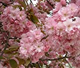 Japanese Flowering Cherry, Prunus Serrulata, Tree Seeds (10 Seeds)
