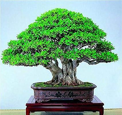 Amazon Com Shopmeeko A 20pcs Banyan Tree Plants Ficus Ginseng