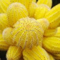 Portal Cool 20Pcs giardino balcone bello bonsai Piante Cactus giallo Semi C1My 01