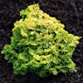 Nana Lutea Hinoki Cypress 3 - Year Tree