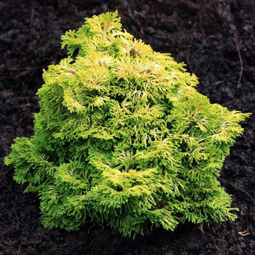 Dwarf Golden Hinoki Cypress Nana Lutea 3 - Year Live Plant