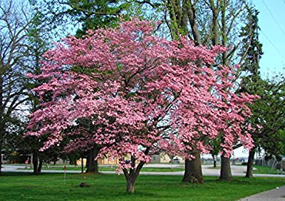 1000 Flowering Dogwood Tree Seeds, Cornus Florida, Rubra