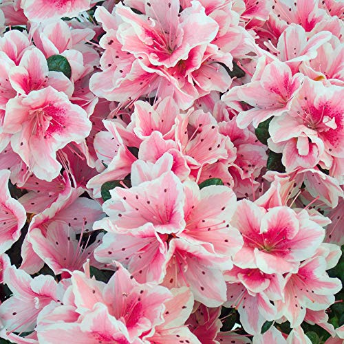 Pink Azalea Plant - Cottage Hill Azalea 'Conversation 2 Piece Live Plant, Red-Pink-White Blooms