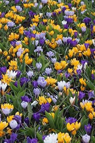 200 Bulbes de Crocus à Grandes Fleurs en mélange - calibre: 7/8 (Livraison gratuite) Bulbs & beyond