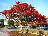 Royal Poinciana Flame Tree 15 Seeds - Delonix -Tropical