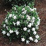 Frost Proof Gardenia ( Cape Jasmine )   Live Plant   Quart Pot