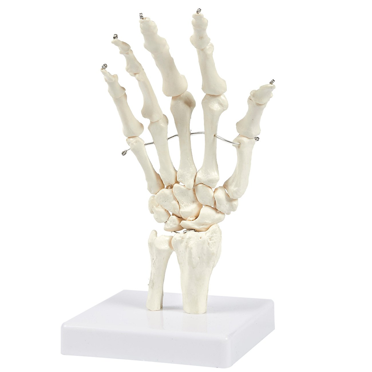 Human Hand And Wrist Skeleton Model On Base Stand Articulating