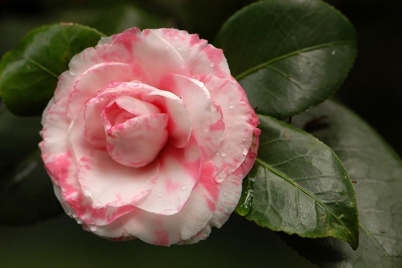 Amazon Camellia Japonica Japanese Camellia Tea Flower Rose Of