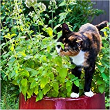 Package of 600 Seeds, Catnip Herb (Nepeta cataria) Non-GMO Seeds By Seed Needs