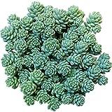 Sedum dasyphyllum Major Corsican Stonecrop Blue Tears Sedum (2'' or 4'' or 6'')