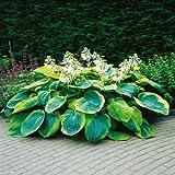 Hosta sieboldiana Frances Williams - 3 plants