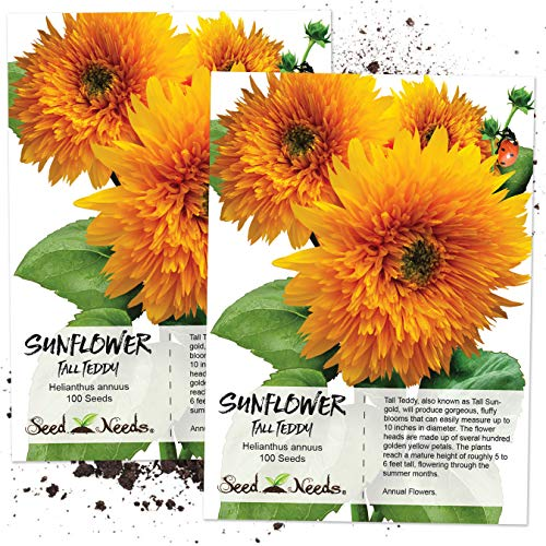 Teddy Bear Sunflowers - Seed Needs, Tall Teddy Sunflower (Helianthus annuus) Twin Pack of 100 Seeds Each Open Pollinated