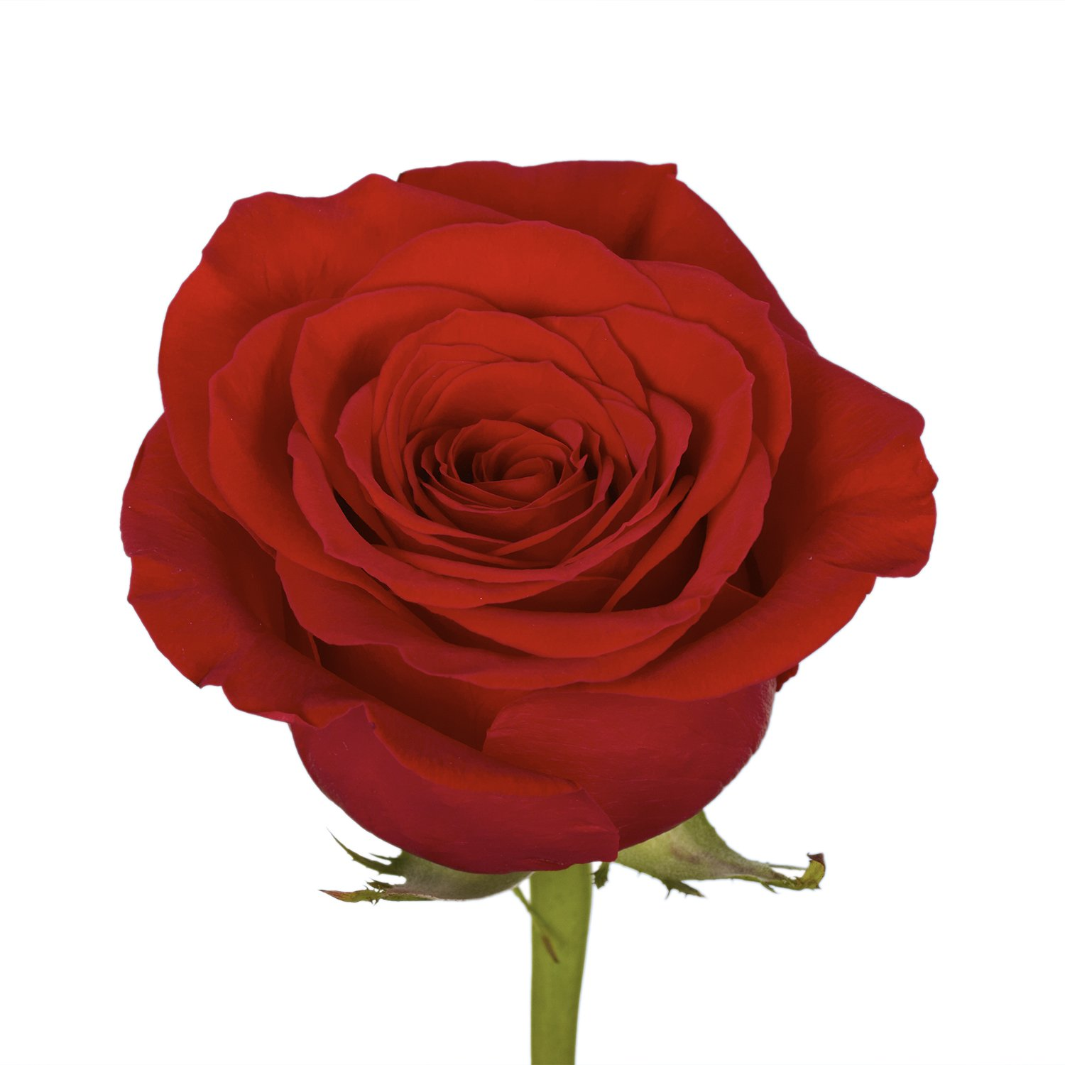 GlobalRose 100 Red Roses- Vibrant and Bright Red Blooms- Fresh Flowers Express Delivery) by GlobalRose (Image #2)