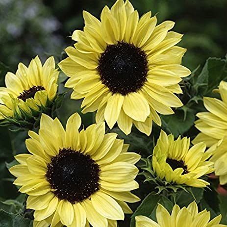 Amazon sunflower seeds moonshine 14 pound pale yellow sunflower seeds moonshine 14 pound pale yellow flowers mightylinksfo Choice Image