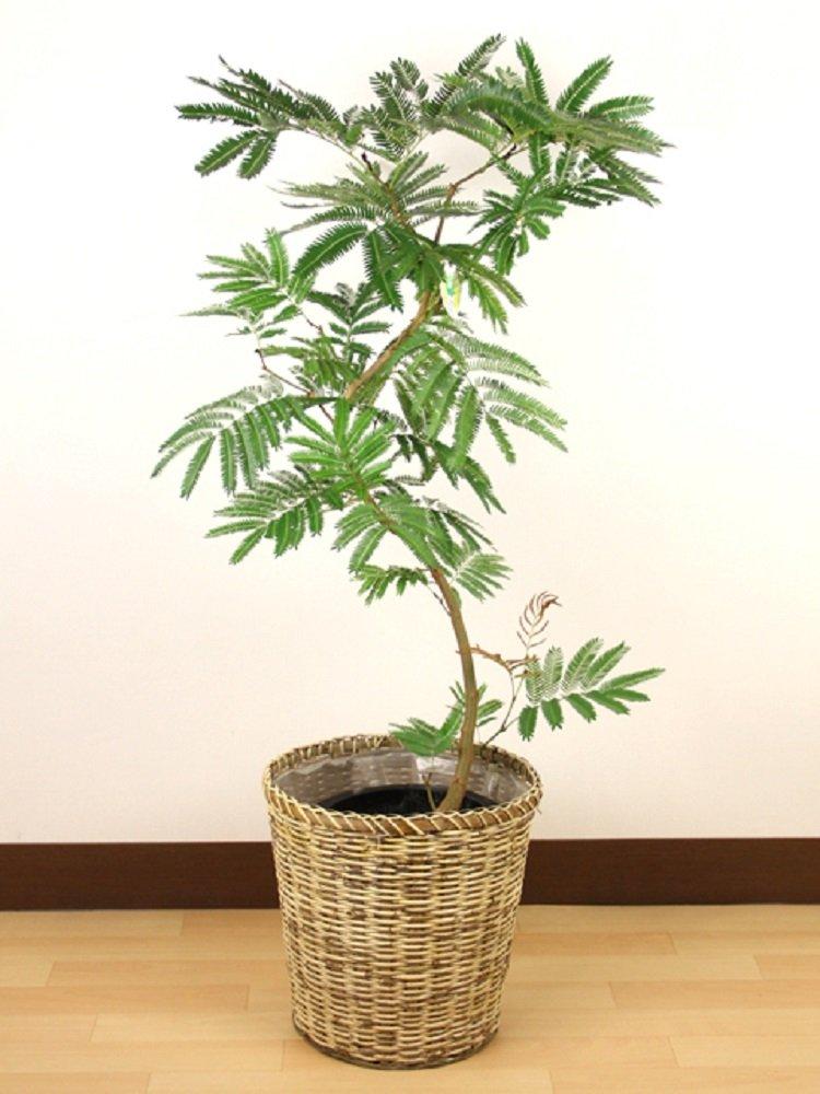 観葉植物 エバーフレッシュ 8号 【鉢カバー付】 B013PKDF58