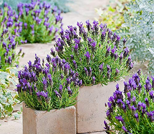 Lavender Seeds Provence Herbs Flowers up to 100 Seeds