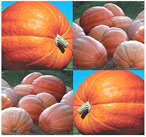 (10) DILL'S Atlantic Giant Pumpkin Seeds