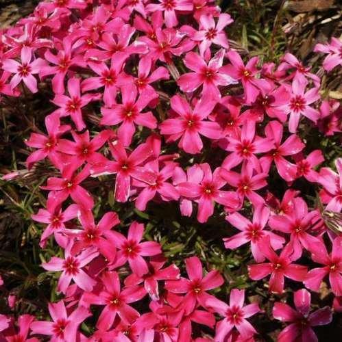 Plant Phlox Creeping - PHLOX SUBULATA 'SCARLET FLAME' - CREEPING PHLOX - STARTER PLANT