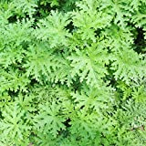 Loveble Mosquito Repellent Grass Seeds Potted Plant Seeds Indoor&Outdoor 100 Pieces