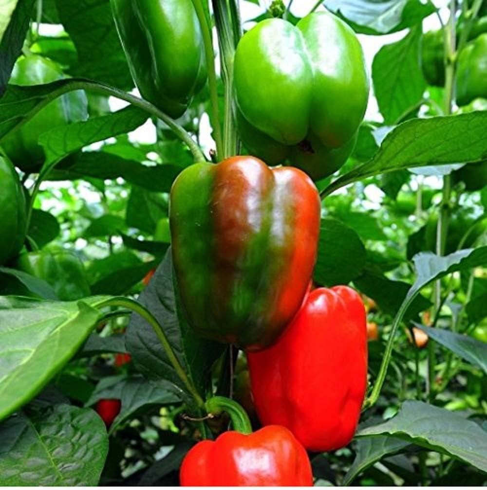 David's Garden Seeds Pepper Bell California Wonder SL3224 (Red) 50 Non-GMO, Heirloom Seeds