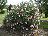 "Rose of Sharon 'Aphrodite' - Hardy Pink Hibiscus syriacus - Healthy Plants 6"" - 12"" tall - 3 1/2"" Potted Shrub - 3 Pack by Growers Solution"