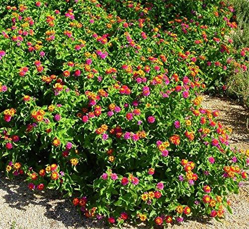 1 Gallon Pot Confetti Lantana Multicolor Plant Live Plant with Size 6''