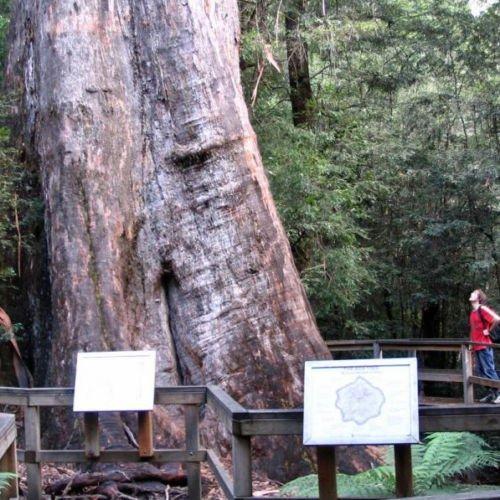 Tallest Trees Ever - EUCALYPTUS regnans Mountain Ash Seeds (E 23)