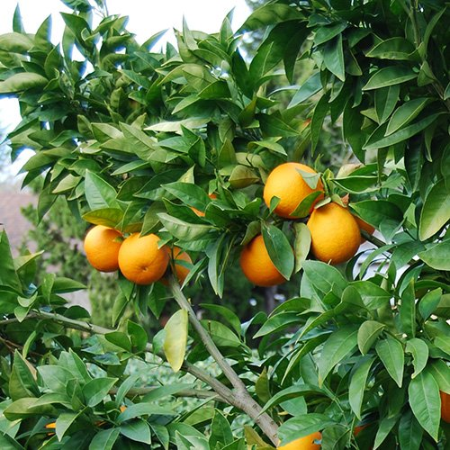 3-4-foot-moro-blood-orange-tree-in-pot