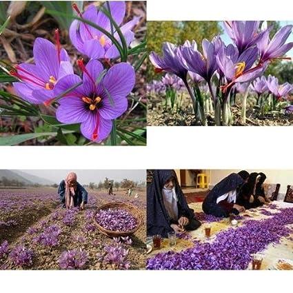 b7c2bfa9576da0 Image Unavailable. Image not available for. Color  Saffron Crocus 10 Bulbs  - Rare Spice - Fall Blooming - Crocus Sativus ...