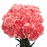 GlobalRose 100 Pink Carnations- Lovely Fresh Cut Flowers