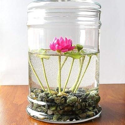 KOUYE GardenSeeds- Mini Lotus Seeds Water Seed Lotus Flower Seeds Hardy Perennial Aquatic Plants Bonsai Lotus Seed Pond Seed Indoor Plants : Garden & Outdoor