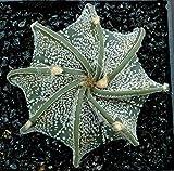 Maslin 10Pcs/Pack Cactus Seeds Astrophytum Ornatum Succulent Lithops Bonsai Flower Seeds