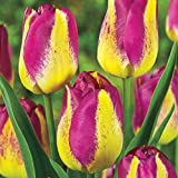 100 Grape Lemonade Tulip Seeds - My Secret Gardens
