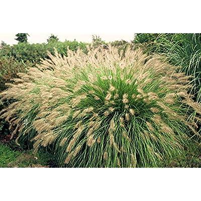 Pennisetum Hamelin : Garden & Outdoor