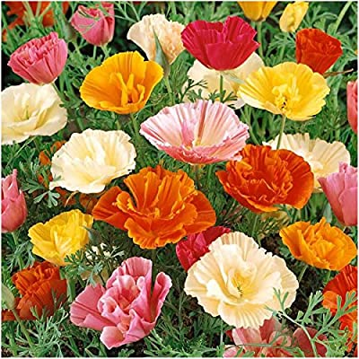 Package of 2,000 Seeds, Mission Bells California Poppy (Eschscholzia californica) Non-GMO Seeds By Seed Needs